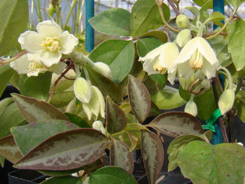 Clematis fasciculiflora, Small Flowered Clematis - Brushwood Nursery, Clematis Specialists