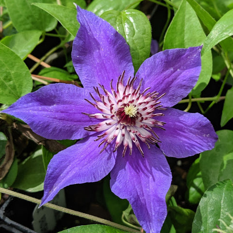 Clematis Festival, Large Flowered Clematis - Brushwood Nursery, Clematis Specialists