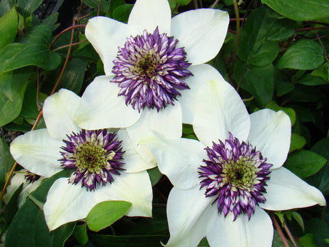 Clematis florida var. sieboldiana, Large Flowered Clematis - Brushwood Nursery, Clematis Specialists