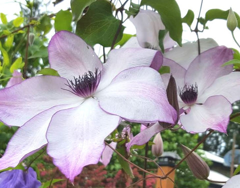 Clematis Fond Memories, Large Flowered Clematis - Brushwood Nursery, Clematis Specialists