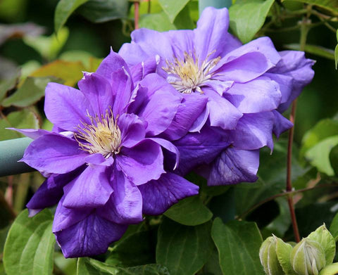 Clematis Franziska Maria, Large Flowered Clematis - Brushwood Nursery, Clematis Specialists