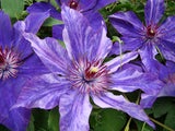 Clematis Galaxy, Large Flowered Clematis - Brushwood Nursery, Clematis Specialists