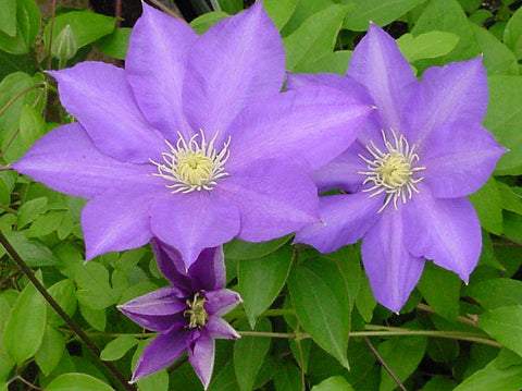 Clematis General Sikorski, Large Flowered Clematis - Brushwood Nursery, Clematis Specialists