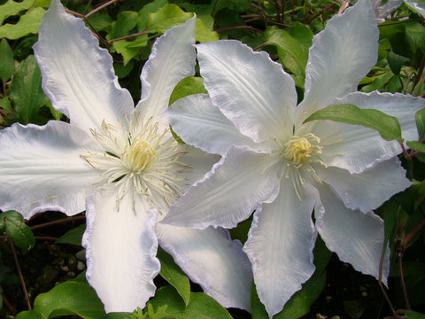 Clematis Gillian Blades, Large Flowered Clematis - Brushwood Nursery, Clematis Specialists