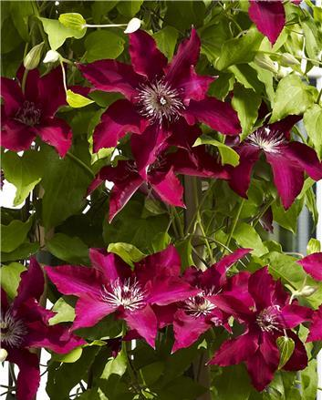 Clematis Gina, Large Flowered Clematis - Brushwood Nursery, Clematis Specialists