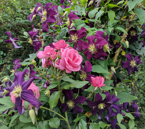 Clematis Gizela, Large Flowered Clematis - Brushwood Nursery, Clematis Specialists