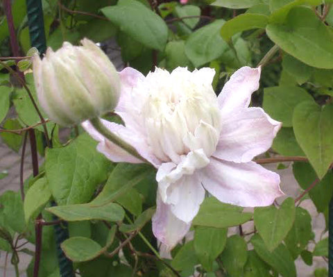 Clematis Grefve Erik Ruuth, Large Flowered Clematis - Brushwood Nursery, Clematis Specialists