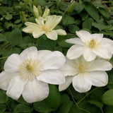 Clematis Guernsey Cream, Large Flowered Clematis - Brushwood Nursery, Clematis Specialists