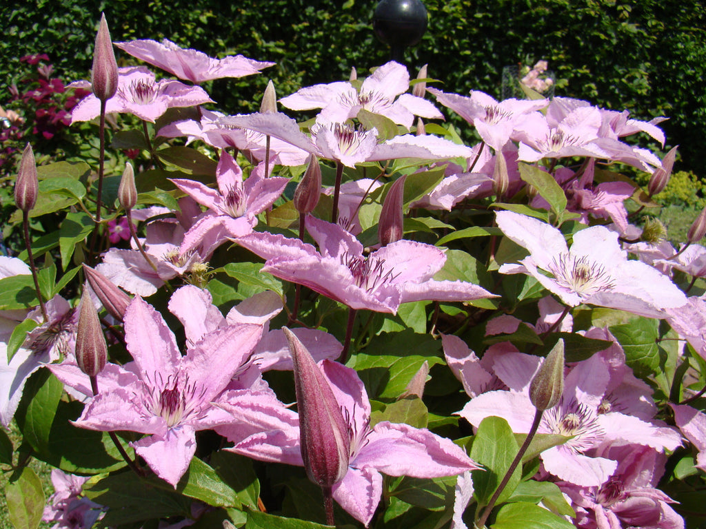 clematis hagley hybrid brushwood nursery clematis specialists. Black Bedroom Furniture Sets. Home Design Ideas