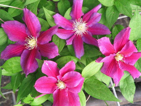 Clematis Hania, Large Flowered Clematis - Brushwood Nursery, Clematis Specialists