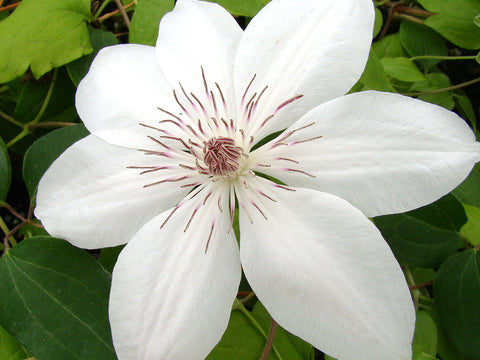 Clematis Henryi, Large Flowered Clematis - Brushwood Nursery, Clematis Specialists