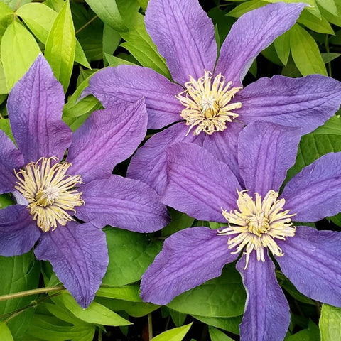 Clematis Hudson River, Small Flowered Clematis - Brushwood Nursery, Clematis Specialists