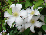 Clematis Huldine, Large Flowered Clematis - Brushwood Nursery, Clematis Specialists
