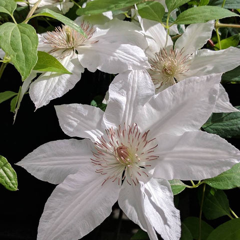 Clematis Hyde Hall, Large Flowered Clematis - Brushwood Nursery, Clematis Specialists