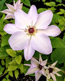 Clematis Ibi, Large Flowered Clematis - Brushwood Nursery, Clematis Specialists