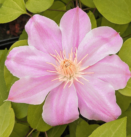 Clematis Irene, Large Flowered Clematis - Brushwood Nursery, Clematis Specialists