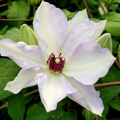 Clematis Ivan Olsson, Large Flowered Clematis - Brushwood Nursery, Clematis Specialists