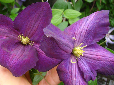 Clematis Jackmanii Purpurea, Large Flowered Clematis - Brushwood Nursery, Clematis Specialists