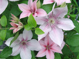 Clematis John Paul II, Large Flowered Clematis - Brushwood Nursery, Clematis Specialists
