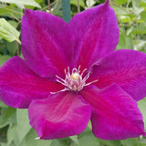 Clematis Julka, Large Flowered Clematis - Brushwood Nursery, Clematis Specialists