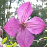 Clematis Kaaru, Small Flowered Clematis - Brushwood Nursery, Clematis Specialists