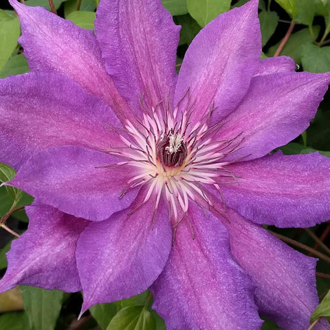 Clematis Kathleen Dunford, Large Flowered Clematis - Brushwood Nursery, Clematis Specialists