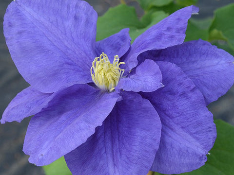 Clematis Kingfisher, Large Flowered Clematis - Brushwood Nursery, Clematis Specialists