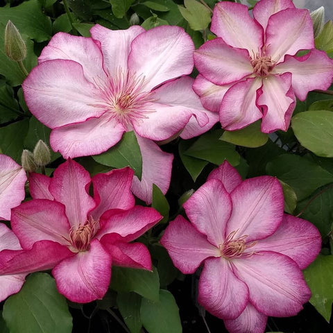 Clematis Liberty, Large Flowered Clematis - Brushwood Nursery, Clematis Specialists