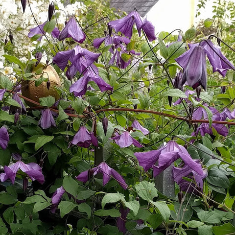 Clematis Little Bas, Small Flowered Clematis - Brushwood Nursery, Clematis Specialists