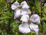 Clematis Luxuriant Blue