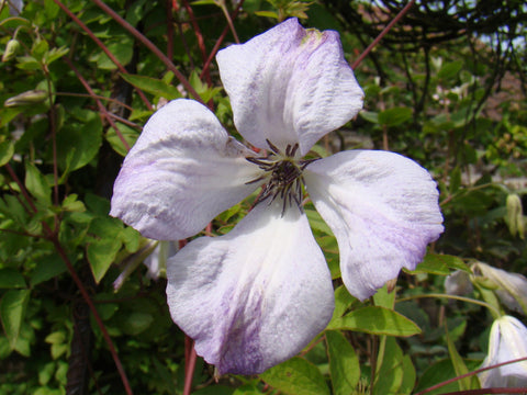 Clematis Luxuriant Blue, Small Flowered Clematis - Brushwood Nursery, Clematis Specialists