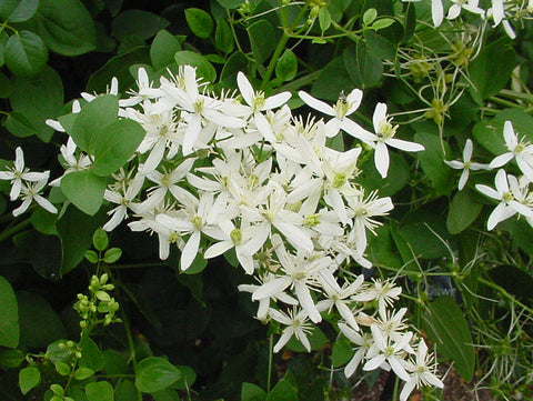 Clematis mandshurica, Non-Vining Clematis - Brushwood Nursery, Clematis Specialists