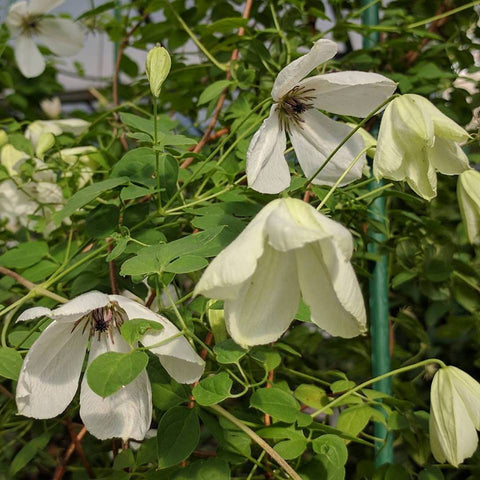Clematis Maria Cornelia, Small Flowered Clematis - Brushwood Nursery, Clematis Specialists