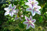 Clematis Maria Therese, Large Flowered Clematis - Brushwood Nursery, Clematis Specialists