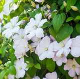 Clematis Marie Boisselot, Large Flowered Clematis - Brushwood Nursery, Clematis Specialists