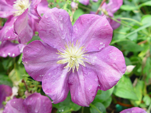 Clematis Miniseelik, Large Flowered Clematis - Brushwood Nursery, Clematis Specialists