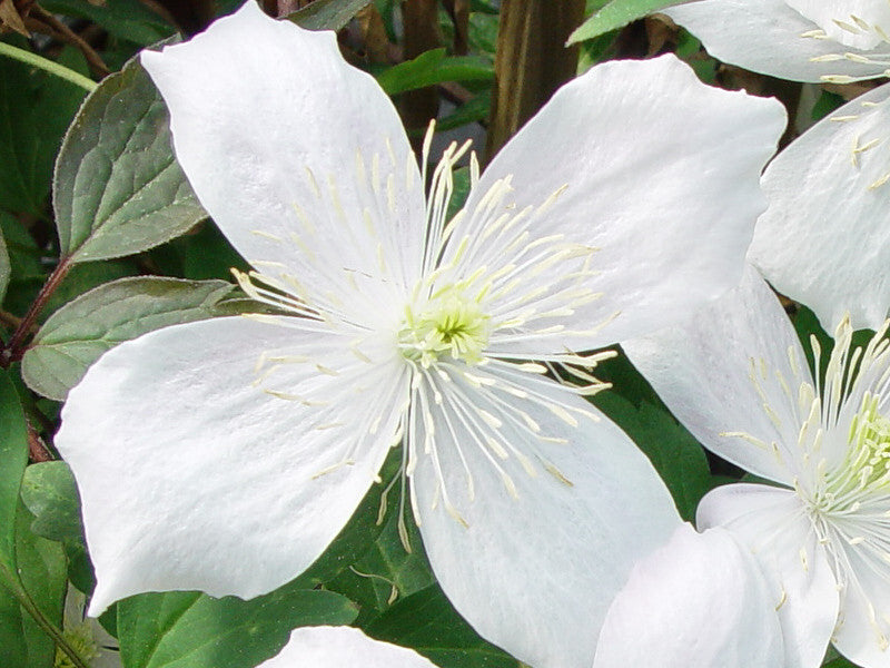 clematis montana grandiflora brushwood nursery clematis. Black Bedroom Furniture Sets. Home Design Ideas