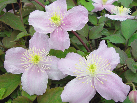 Clematis montana Mayleen, Small Flowered Clematis - Brushwood Nursery, Clematis Specialists