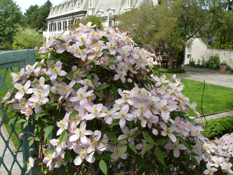 Clematis montana Pink Perfection, Small Flowered Clematis - Brushwood Nursery, Clematis Specialists