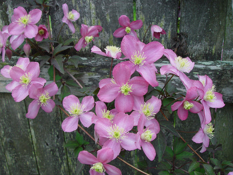 Clematis montana Tetrarose, Small Flowered Clematis - Brushwood Nursery, Clematis Specialists