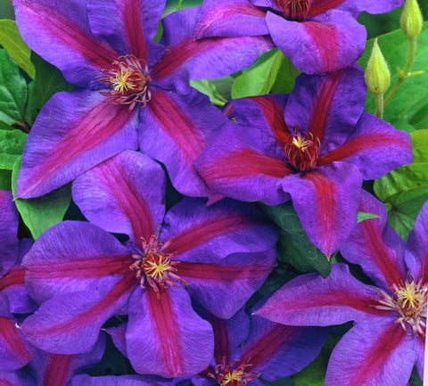 Clematis Mrs N Thompson, Large Flowered Clematis - Brushwood Nursery, Clematis Specialists