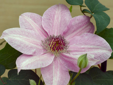 Clematis Neva, Large Flowered Clematis - Brushwood Nursery, Clematis Specialists