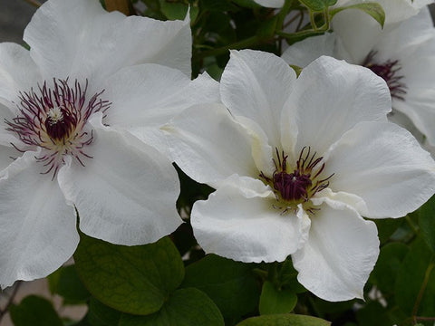 Clematis Ninon, Large Flowered Clematis - Brushwood Nursery, Clematis Specialists