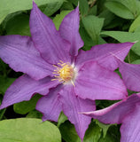 Clematis Palette, Large Flowered Clematis - Brushwood Nursery, Clematis Specialists