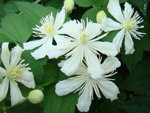 Clematis Paul Farges, Small Flowered Clematis - Brushwood Nursery, Clematis Specialists