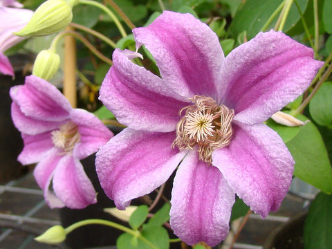 Clematis Peveril Profusion, Small Flowered Clematis - Brushwood Nursery, Clematis Specialists