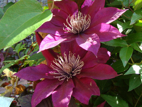 Clematis Picardy, Large Flowered Clematis - Brushwood Nursery, Clematis Specialists