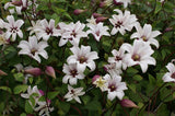 Clematis Princess Kate, Small Flowered Clematis - Brushwood Nursery, Clematis Specialists