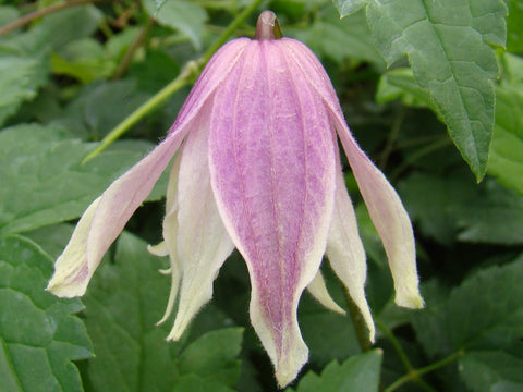 Clematis Propertius, Small Flowered Clematis - Brushwood Nursery, Clematis Specialists