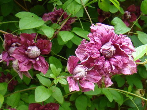 Clematis Purpurea Plena Elegans, Small Flowered Clematis - Brushwood Nursery, Clematis Specialists